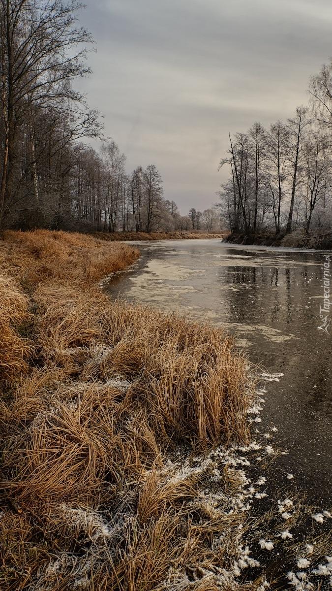 Oszroniona trawa nad rzeką
