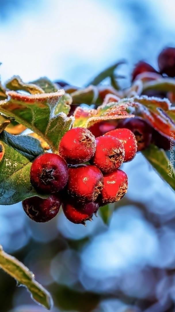 Oszronione owoce głogu