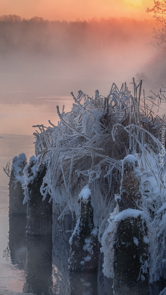 Oszronione trawy nad jeziorem Białym w Rosji