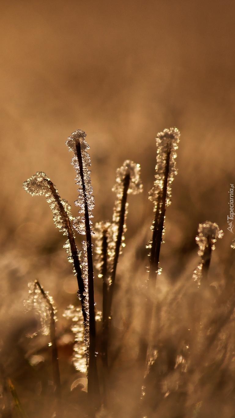 Oszronione źdźbła trawy
