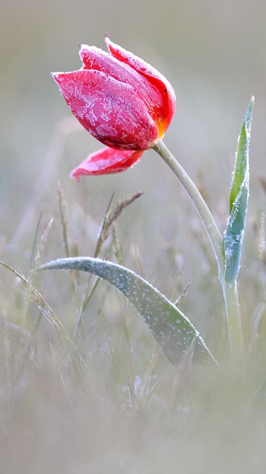 Oszroniony zmarznięty tulipan