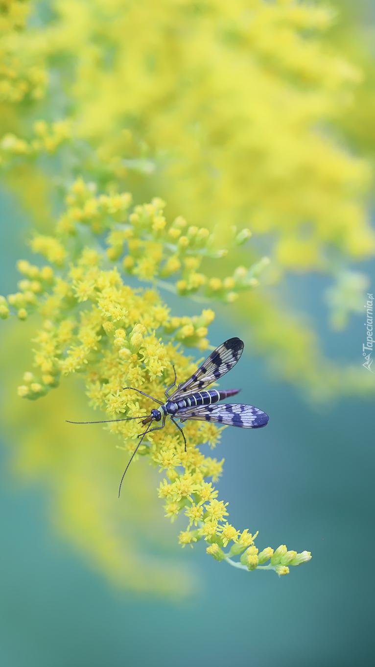 Owad na kwiatkach żółtej nawłoci