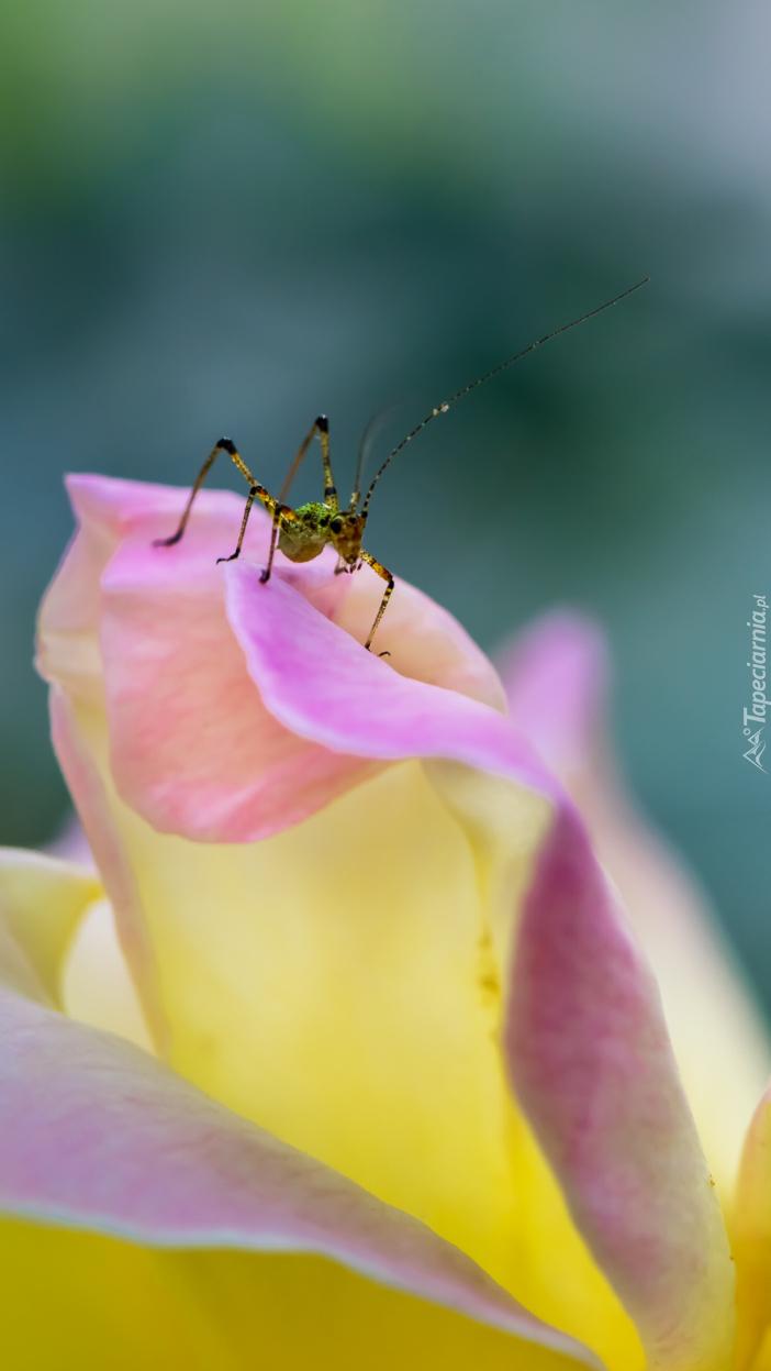 Owad na płatku róży