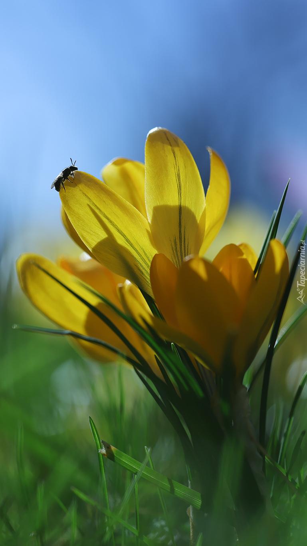 Owad na żółtym płatku krokusa