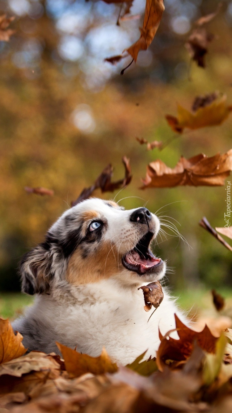 Owczarek australijski wśród jesiennych liści