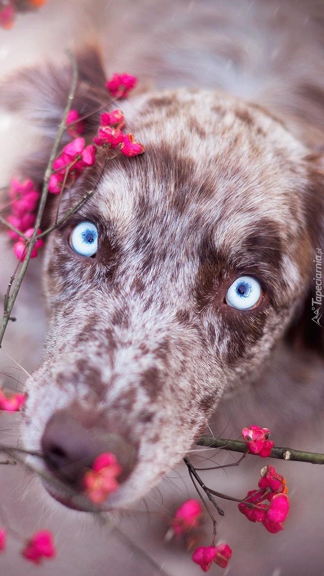 Owczarek australijski z gałązkami kwiatów