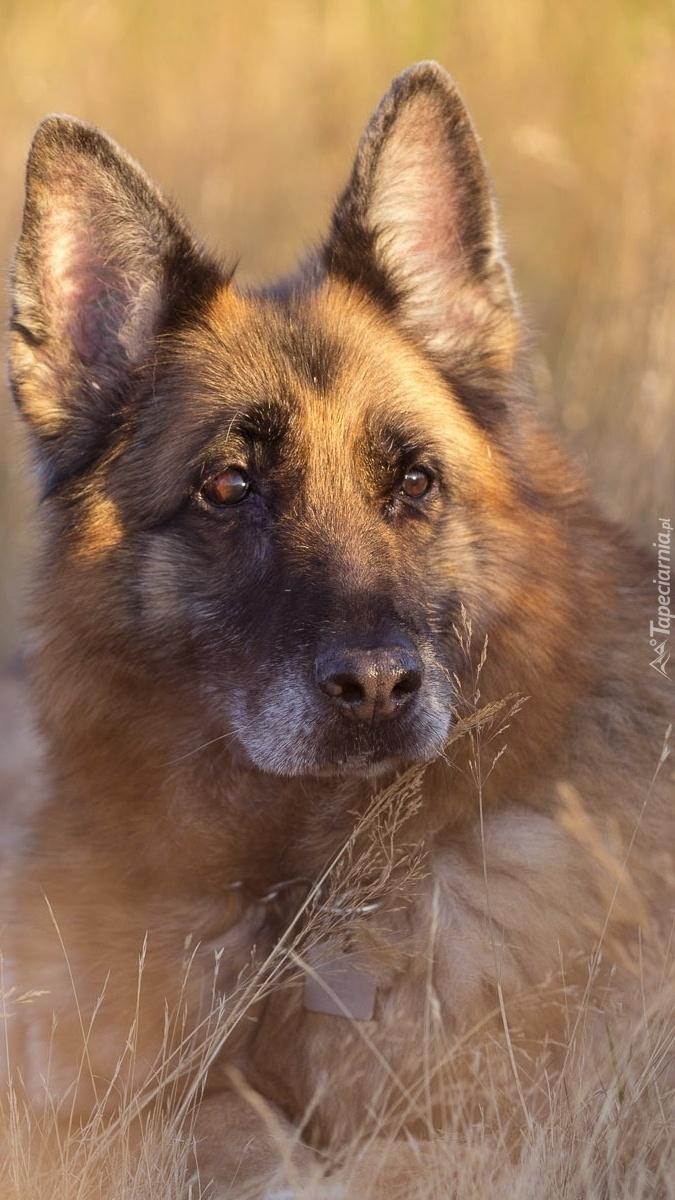 Днем рождения, картинки собаки овчарки спасибо за внимание