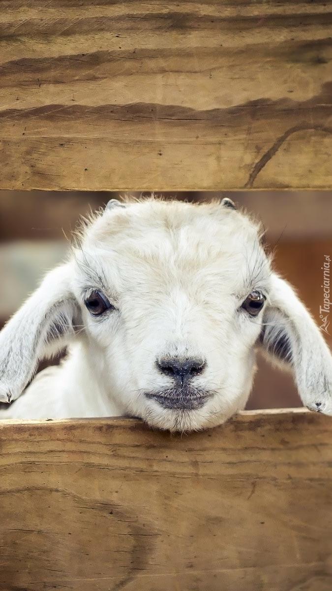 Owieczka zerkająca zza ogrodzenia