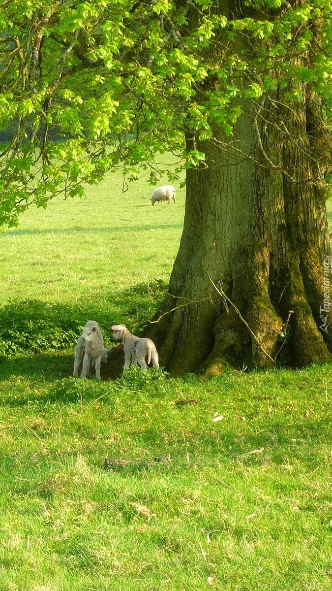 Owieczki pod drzewem