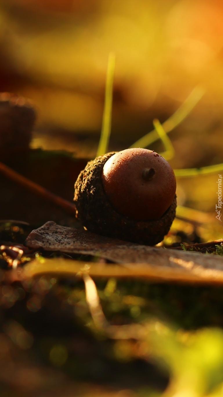 Owoc dębu
