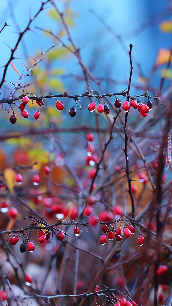 Owoce berberysu na gałązkach