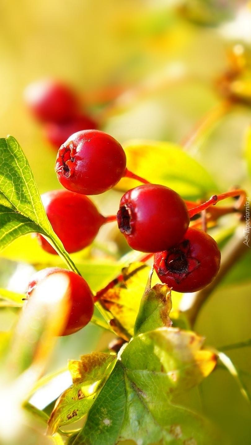 Owoce głogu na gałązce