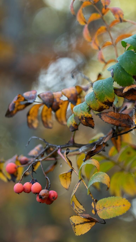 Owoce jarzębiny