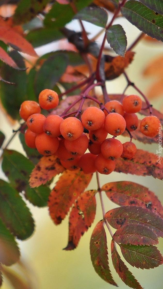 Owoce jarzębiny wśród liści