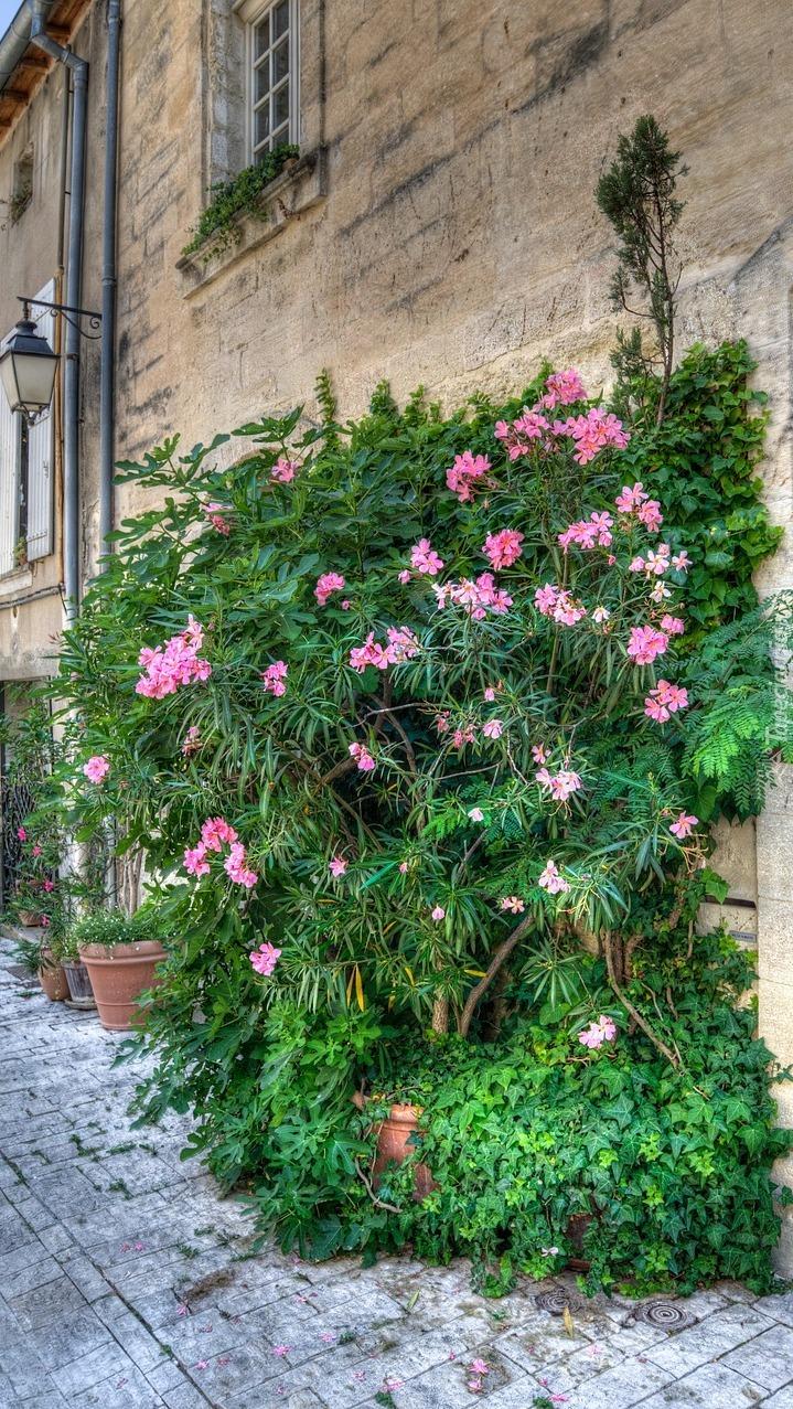 Ozdobne krzewy przy ścianie domu