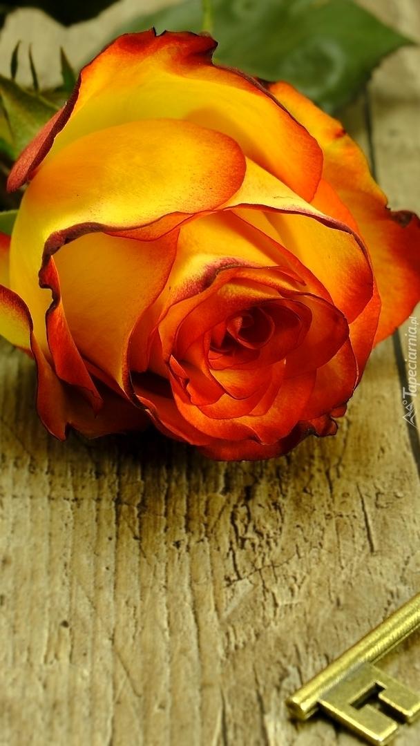 Pąk herbacianej róży