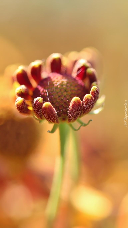 Pąk kwiatu na łodydze