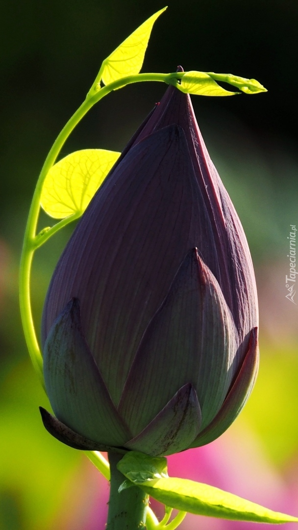 Pąk lotosu
