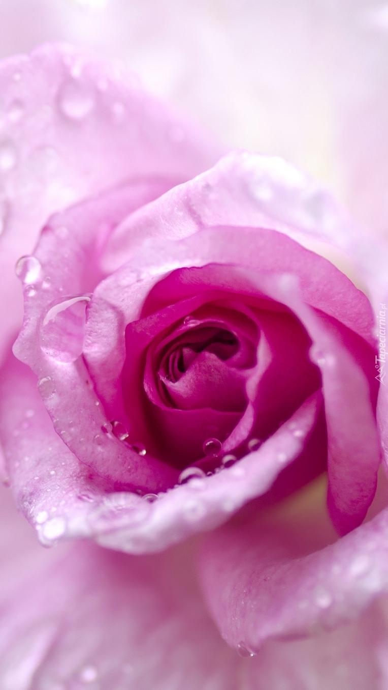 Pąk róży w kroplach
