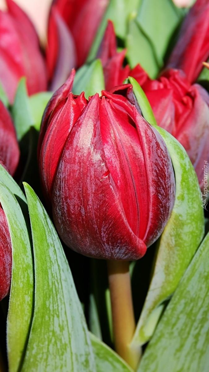 Pąki czerwonych tulipanów