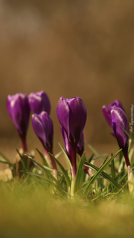 Pąki fioletowych krokusów