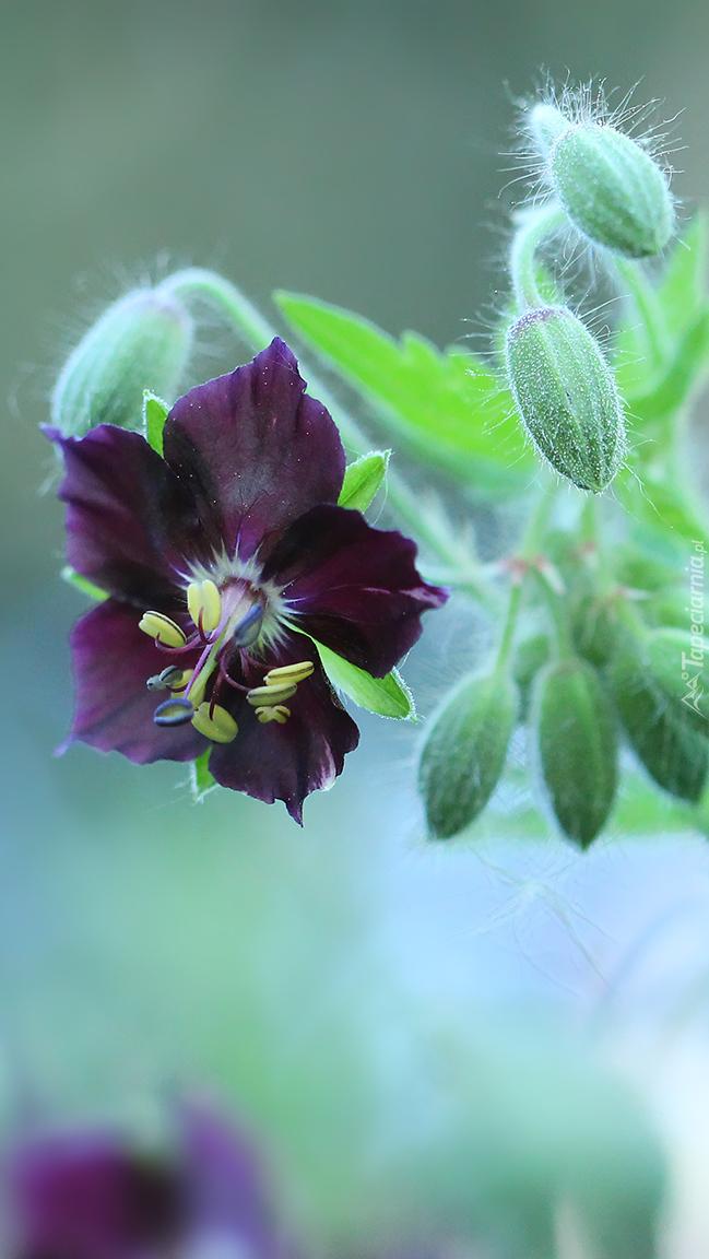 Pąki i kwiat bodziszka żałobnego