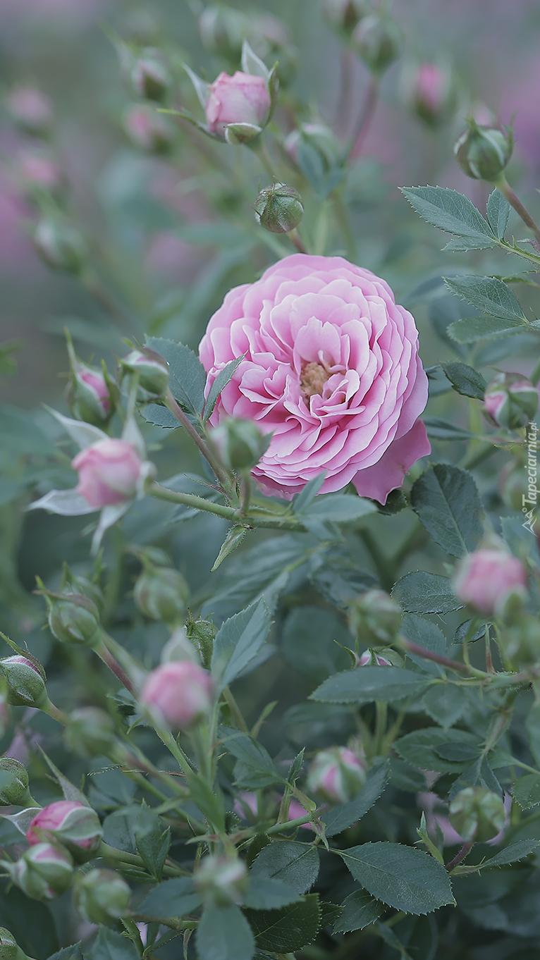 Pąki wokół róży