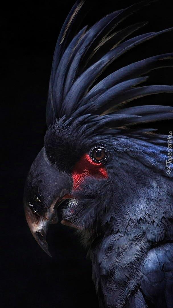 Palmowa Kakadu z pióropuszem