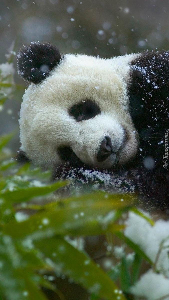 Panda w śniegu