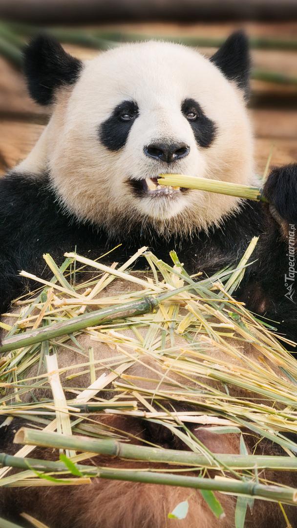 Panda wielka z bambusem
