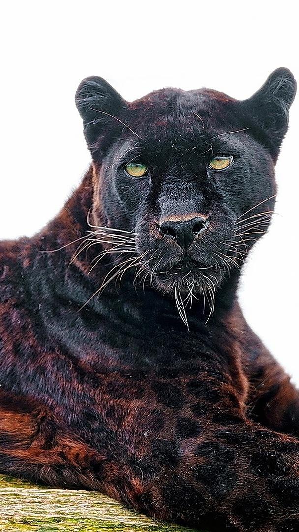 Pantera w czarne cętki