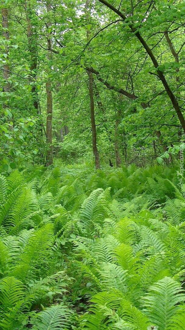 Paprocie w lesie