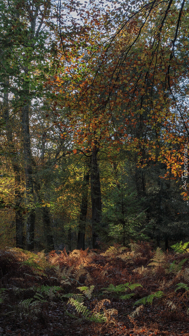 Paprocie w lesie pod drzewami