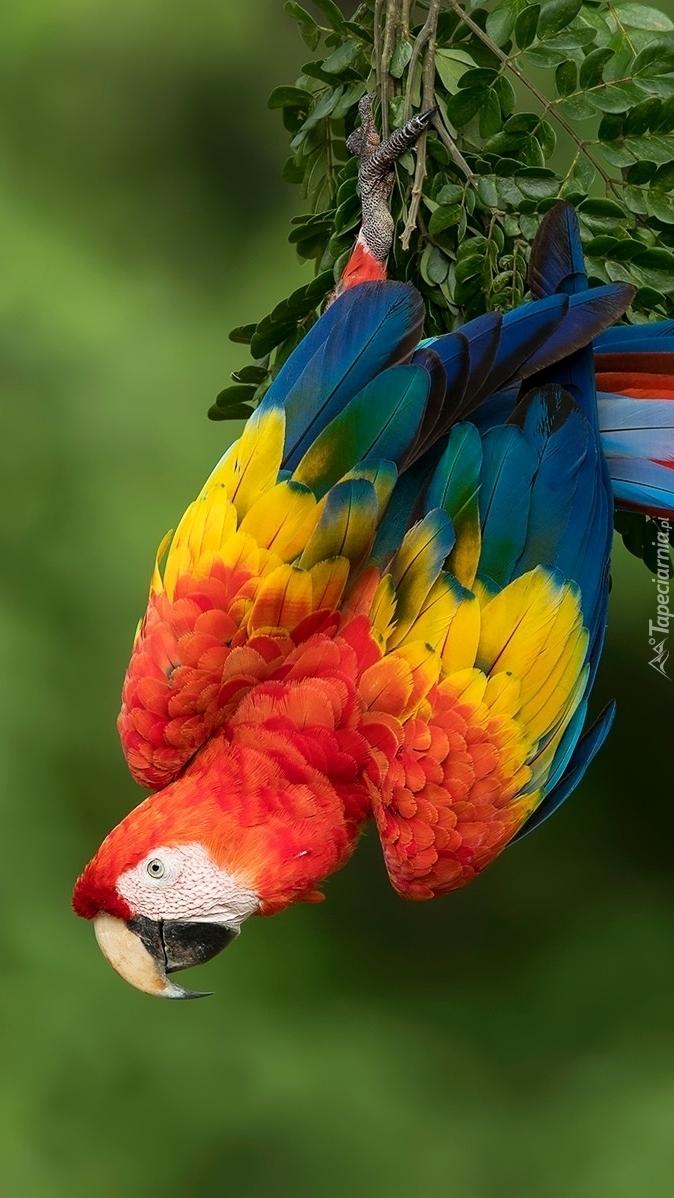 Papuga ara żółtoskrzydła