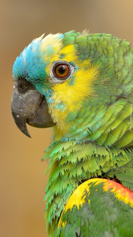Papuga falista
