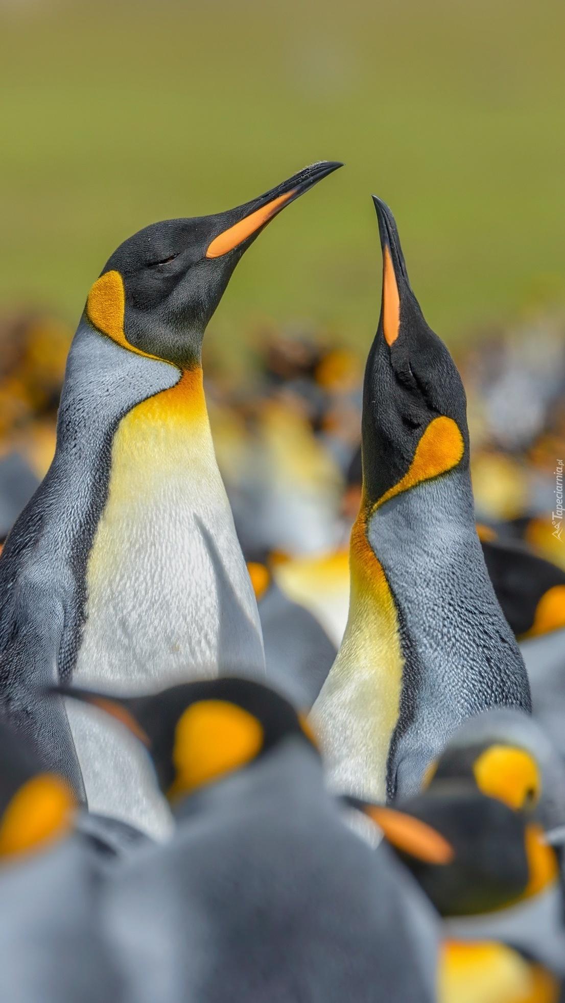 Para pingwinów w stadzie