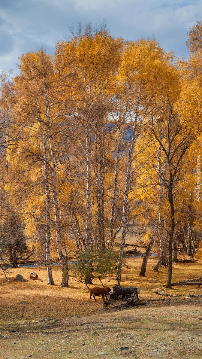Pasące się krowy pod jesiennymi drzewami
