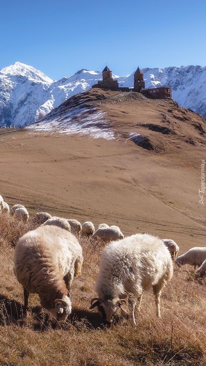 Pasące się owce