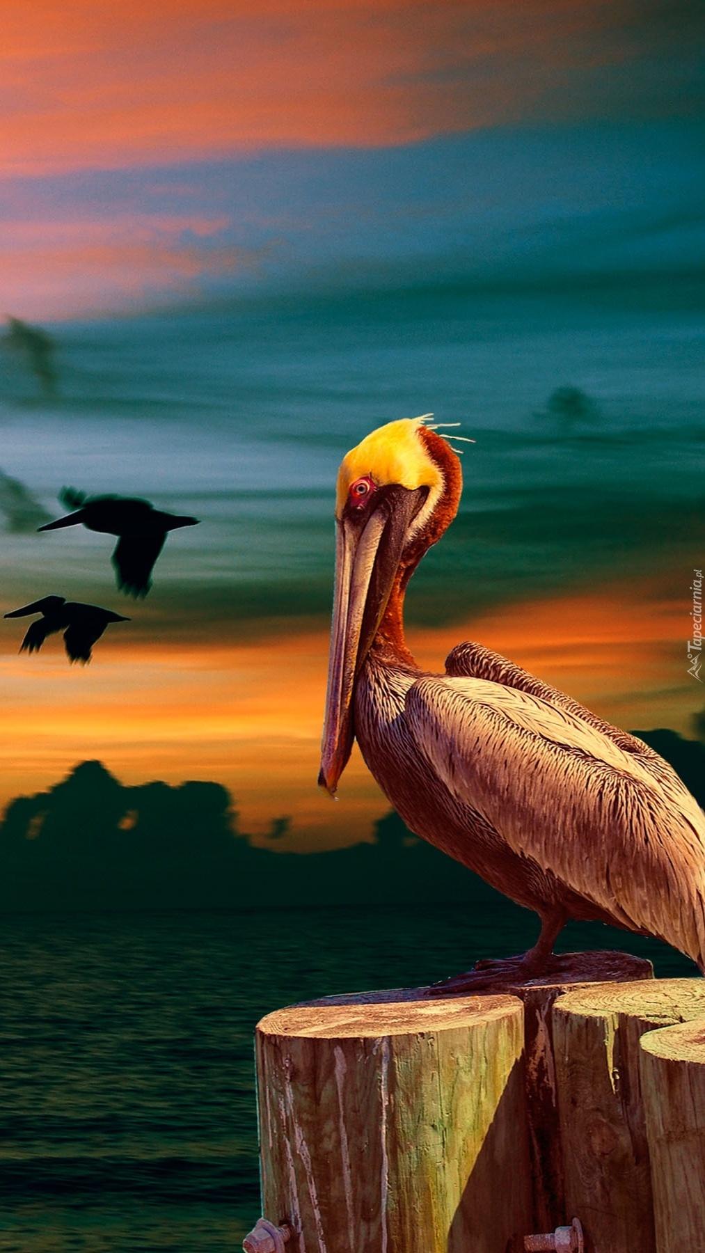 Pelikan nad morzem
