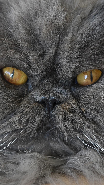 Perski kot o miodowych oczach