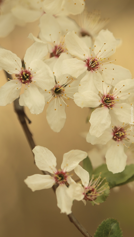 Pięciopłatkowe białe kwiaty