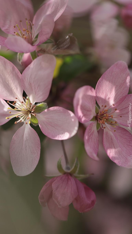 Pięciopłatkowe różowe kwiaty drzewa owocowego