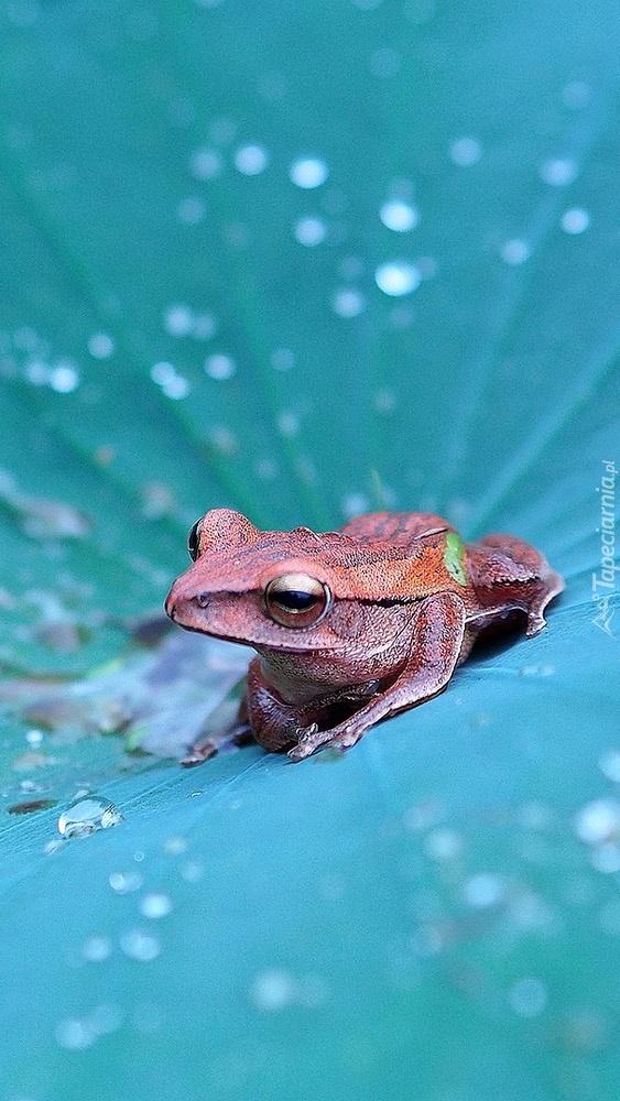 Piękna jesteś żabko ma