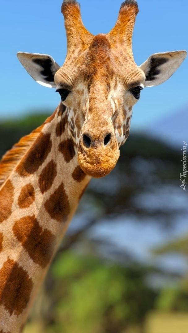 Piękna żyrafa