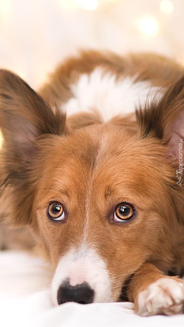 Piękne oczy psa