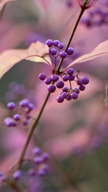 Pięknotka fioletowa