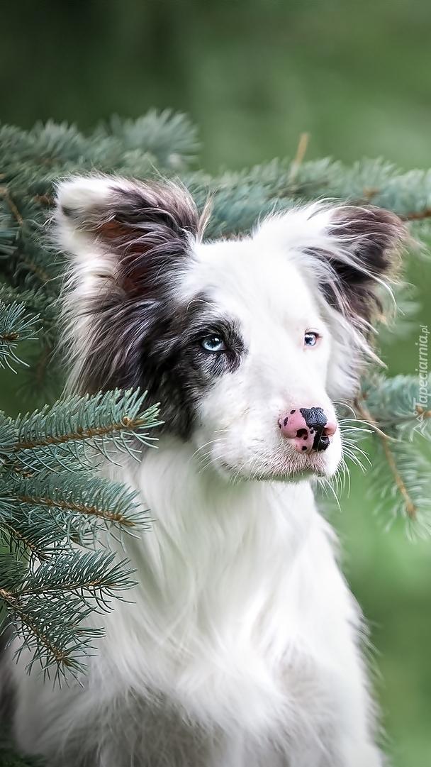 Pies Border collie przy świerku
