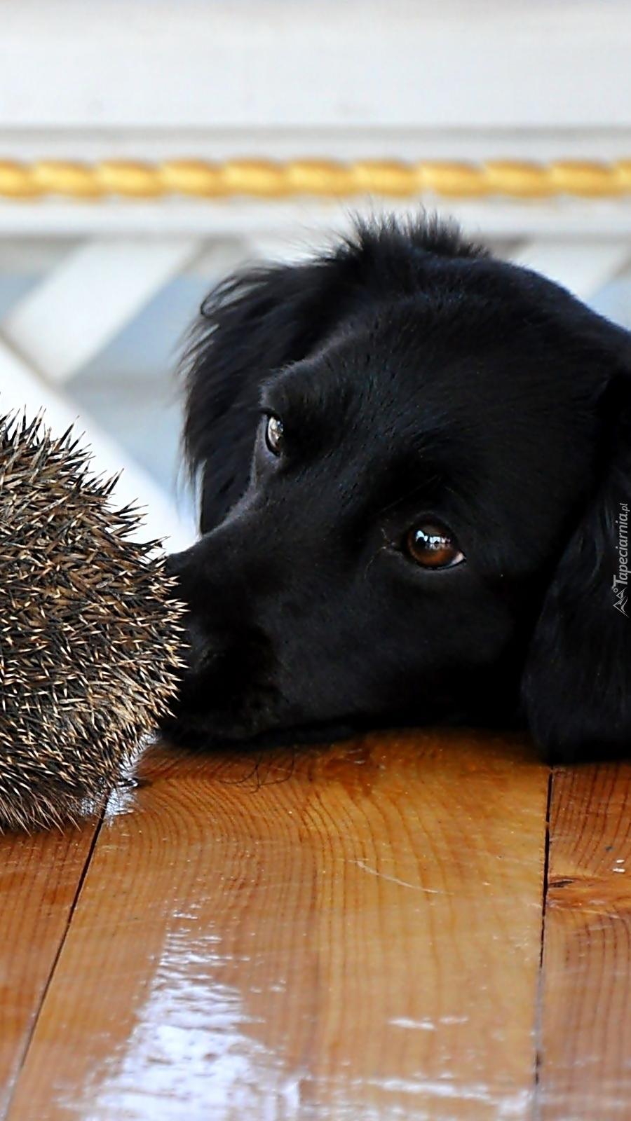 Pies i jeż