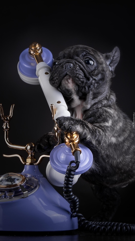Pies przy telefonie