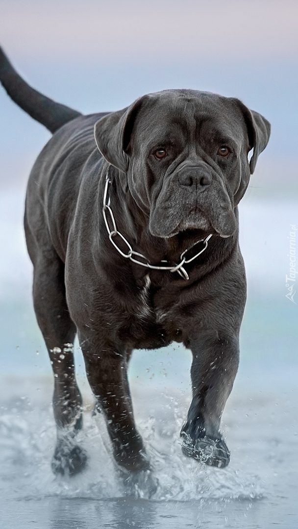 Pies rasy cane corso